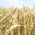 Plony zbóż jarych i ozimych